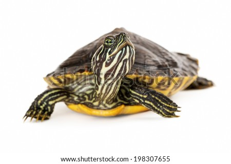 A cute River Cooter Turtle crawling on a white background with selective focus on his face - stock photo