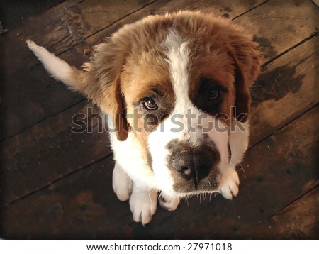 A cute Saint Bernard puppy looking up - stock photo