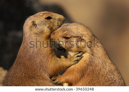 A cute scene of two loving prairie dogs close together - stock photo