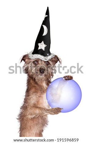 A cute scruffy Terrier mixed breed dog wearing a wizard hat while standing up and holding a crystal fortune telling ball in his paws - stock photo