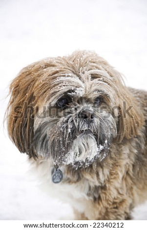 A cute Shih Tzu with snow on his face. - stock photo