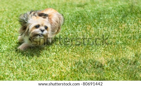 A cute Shitzu Yorkie puppy dog runs wildly after a pet toy. - stock photo
