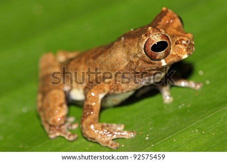 A cute Short-headed Treefrog (Dendropsophus parviceps) in the Peruvian Amazon Isolated on a green leaf with plenty of space for text - stock photo