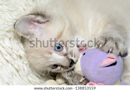 A cute Siamese, Balinese mixed kitten playing with his stuffed animal. - stock photo