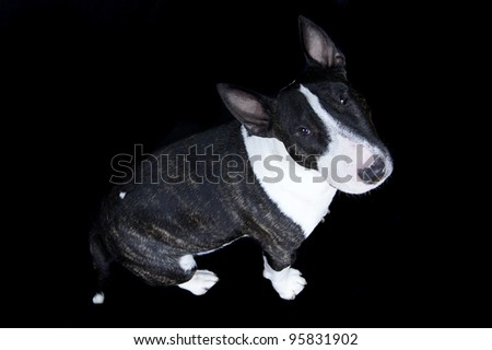 a cute sitting bullterrier dog puppy isolated on black - stock photo