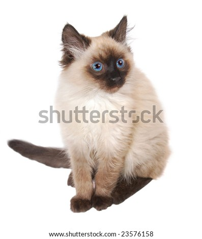A cute sitting Himalayan kitten on a white background