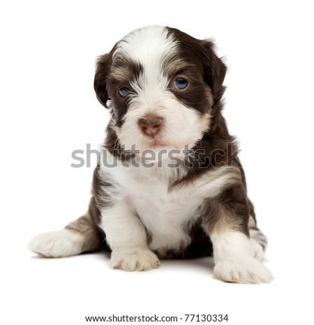 A cute sitting little chocolate havanese puppy dog isolated on white background - stock photo