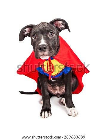 A cute six month old mixed large breed puppy dog dressed as a superhero with cape and vest - stock photo