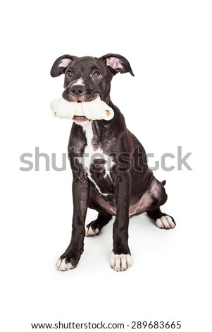 A cute six month old mixed large breed puppy dog sitting down while holding a big rawhide bone in her mouth - stock photo