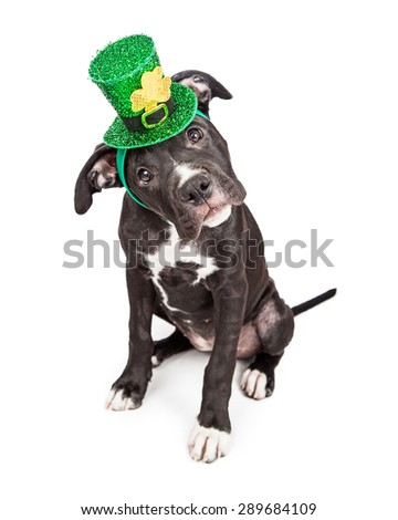 A cute six month old mixed large breed puppy dog wearing a green Irish hat while tilting head and looking into camera - stock photo