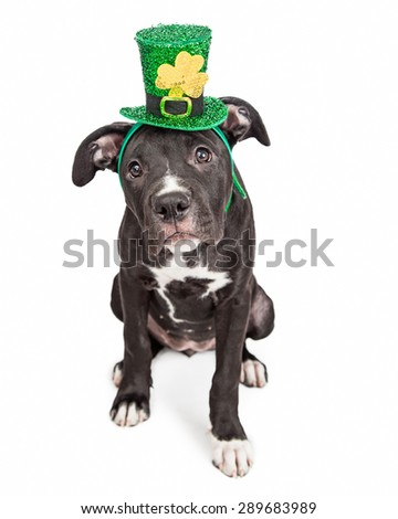 A cute six month old mixed large breed puppy dog wearing a St. Patrick's Day green hat with a clover - stock photo