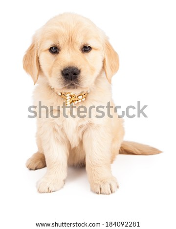 A cute six week old Golden Retriever puppy wearing a fancy collar with crystals while sitting and looking at the camera - stock photo