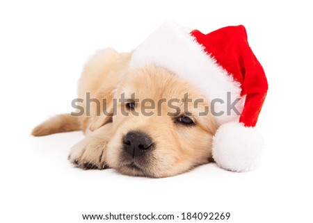 old Golden Retriever puppy wearing a red santa hat while laying down
