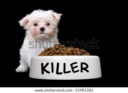 A cute small dog with a large bowl of food - stock photo