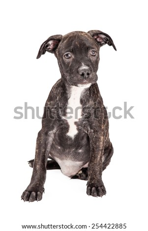 A cute Staffordshire Bull Terrier Mixed Breed four month old puppy sitting on a white background - stock photo