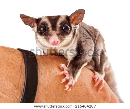 A cute sugar glider pet sitting on the hand of a male animal handler