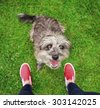 a cute terrier mix begging for a treat in a park or backyard lawn with very green grass - stock photo