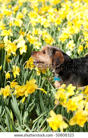 A cute terrier mix breed pup walking through the field of yellow daffodils in the spring time. - stock photo