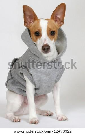 A cute terrier wearing a sweatshirt. - stock photo