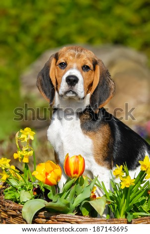 A cute tricolor Beagle puppy, sitting in a flowery garden - stock photo