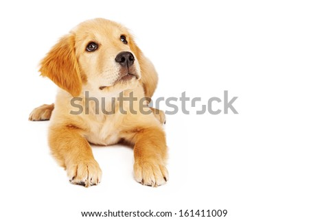 A cute twelve week old Golden Retriever puppy laying against a white background and looking up. Photo has white space with room for copy. - stock photo