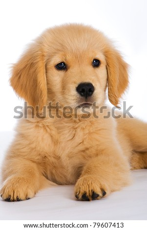a cute 9 week old Golden Retriever Puppy. - stock photo
