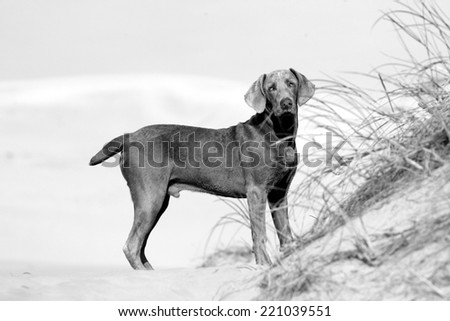 A cute weimaraner on the beach on a beautiful summer day in the Eastern Cape, South AFrica - stock photo