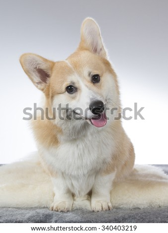A cute Welsh Corgi puppy posing in a photoshoot. Image taken in a studio.