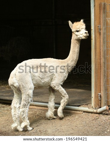A cute white Alpaca stands near his shelter. - stock photo