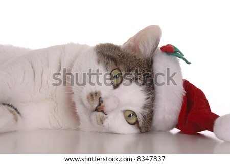 A cute white and brown cat wearing a Santa Claus hat. Picture taken against a white background. - stock photo