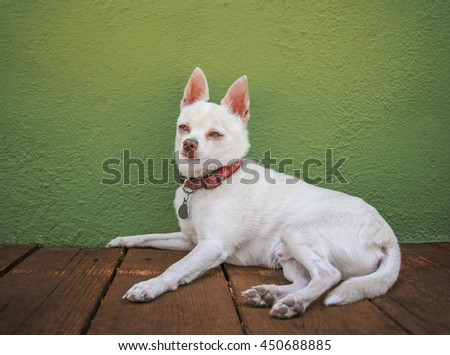 a cute white chihuahua resting on a deck or patio against a green stucco wall  - stock photo