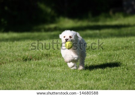 A cute white dog playing fetch with a tennis ball. - stock photo