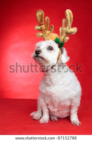 A cute white maltese wearing reindeer antlers for Christmas.  Red background