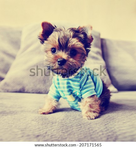 a cute yorkie in a shirt toned with a retro vintage instagram filter  - stock photo