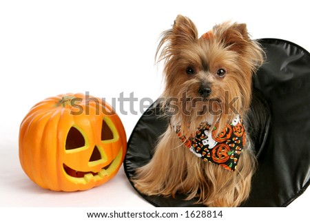 A cute yorkie puppy sitting in a witches hat beside a pumpkin.  Photographed over white background. - stock photo