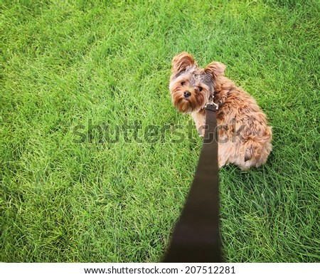a cute yorkshire terrier on a leash looking up at the camera - wide angle shot - stock photo