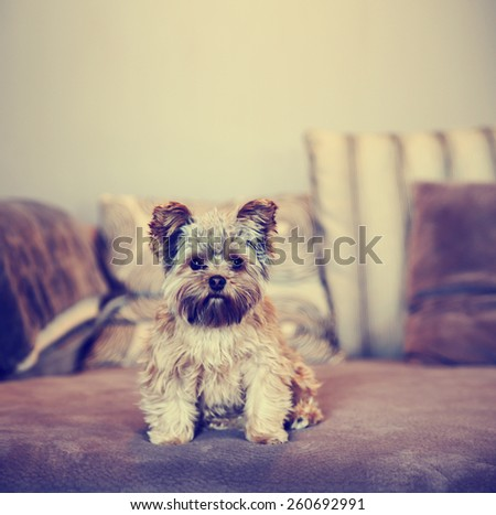 a cute yorkshire terrier peeking sitting on a sofa toned with a retro vintage instagram filter effect app or action - stock photo