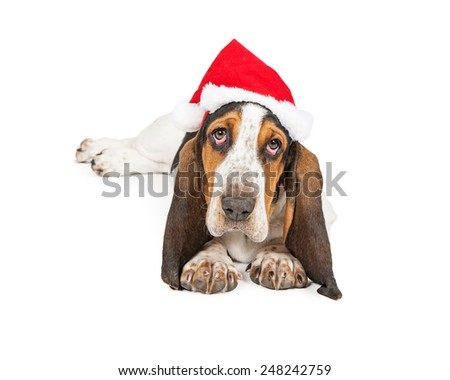 A cute young Basset Hound breed puppy dog wearing a Christmas Santa Claus hat looking at the camera