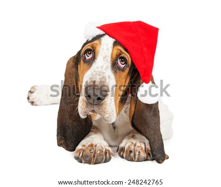 A cute young Basset Hound breed puppy dog wearing a Christmas Santa Claus hat looking up - stock photo