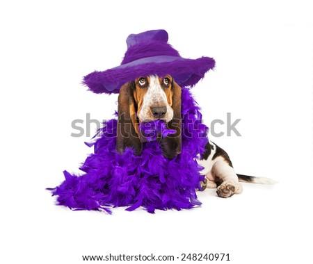 A cute young Basset Hound breed puppy dog wearing a purple hat and feather boa  - stock photo