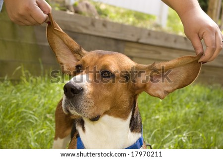 A cute young beagle puppy with his huge floppy ears being held out. - stock photo