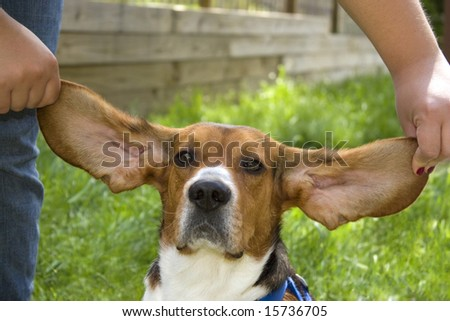 A cute young beagle puppy with huge floppy ears. - stock photo