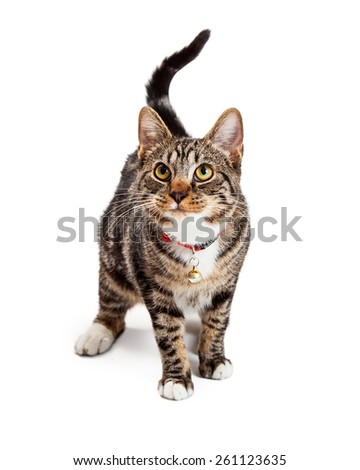 A cute young Bengal breed cat standing and walking forward and looking up with an adorable expression on her face - stock photo
