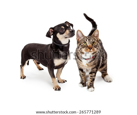 A cute young Bengal breed cat standing next to a small Chihuahua and Dachshund crossbreed dog. Both are looking up and to the side. - stock photo