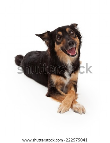A cute young black and tan color Border Collie and Shepherd crossbreed dog laying with legs and paws crossed - stock photo