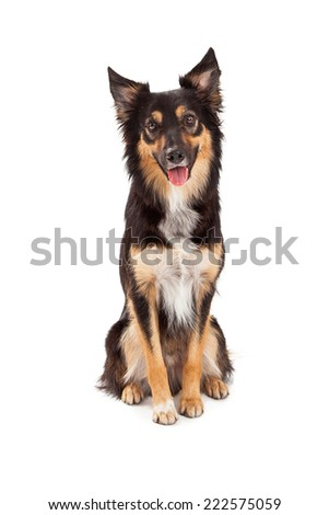 A cute young black and tan color Border Collie and Shepherd mixed breed dog sitting and looking forward with a happy expression - stock photo