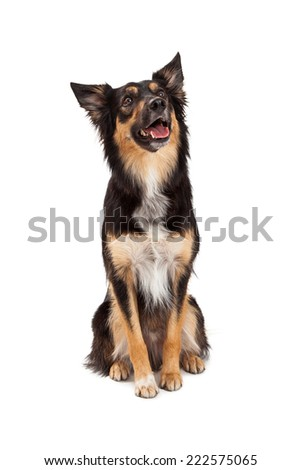 A cute young black and tan color Border Collie and Shepherd mixed breed dog sitting and looking up with a happy expression - stock photo