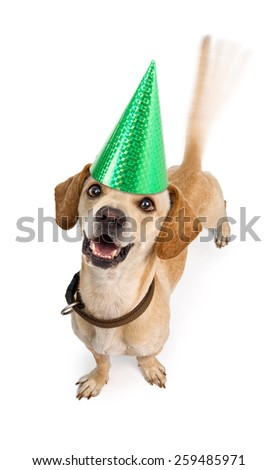 A cute young Chiweenie (Dachshund and Chihuahua cross-breed) puppy dog wearing a birthday hat with motion blur from a wagging tail. Isolated on white.