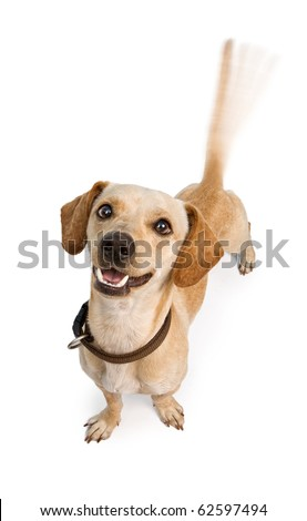A cute young Chiweenie (Dachshund and Chihuahua cross-breed) puppy dog with motion blur from a wagging tail. Isolated on white. - stock photo