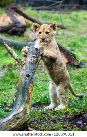 A cute young lion cub standing on his hind legs - stock photo